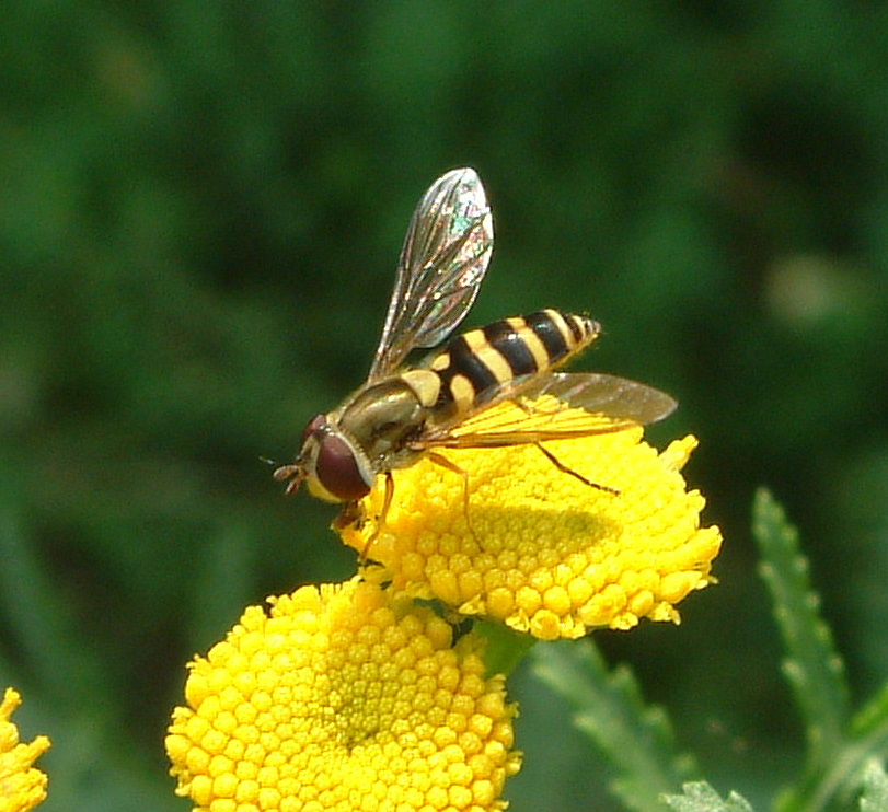 A Syrphid fly pollinates a tansy flower.